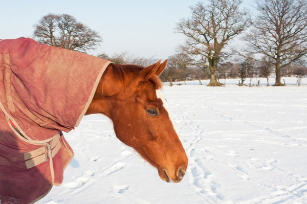 Senior-horse-snow
