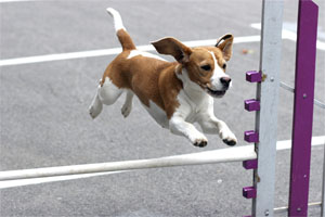 beagle-agility-blog-thumb
