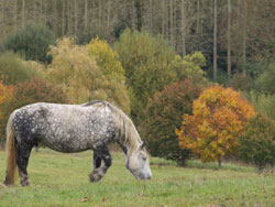 Percheron_Walking-thumb