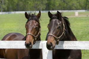 Thoroughbreds-at-fence-thum