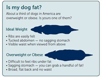 Mini Dachshund Weight Chart