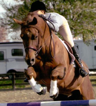 Cody, American Quarter Horse with a Gypsy Vanner forelock.