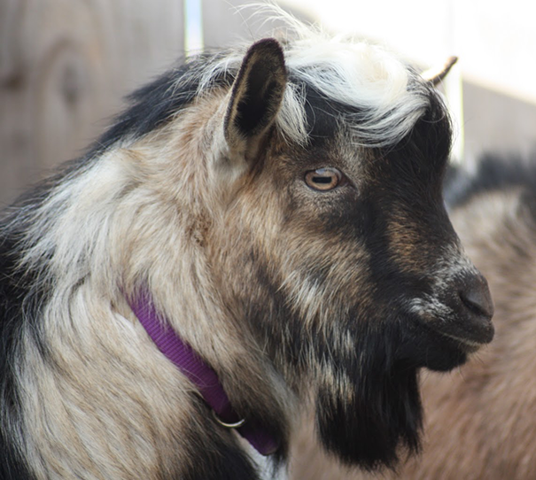 I know it's a goat. I don't care. (photo credit: Itty Bitty Farm in the City)