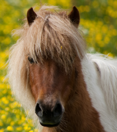 At least 50% of this mini's weight is composed of mane and forelock.