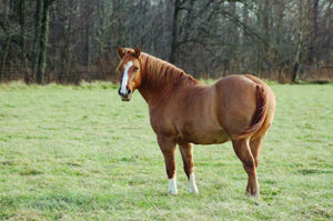 Chestnut-horse-in-field
