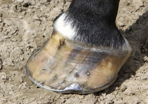 Cracked Hoof
