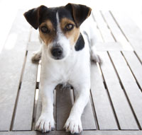Jack-Russell-Terrier-thumb