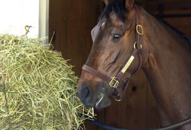 Horse-in-stall-eating-hay-t