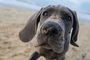 Great-Dane-Puppy-Bloat-thum