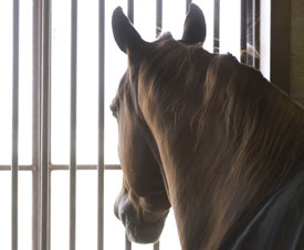 Horse-looking-out-stall-thu