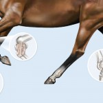 joint horse